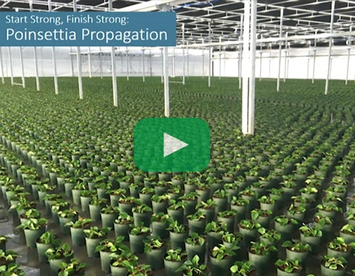 poinsettia propagation trial